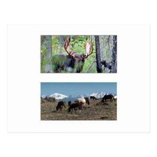 American Wild Animals MUSTANG HORSE DEERS Postcard
