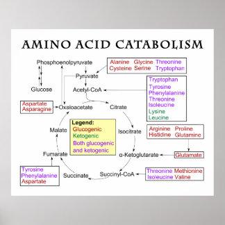 Amino Acid Catabolism Diagram Posters