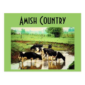 Amish Cows Postcard
