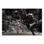 Amongst the Magnolia Trees -Warm BW Posters