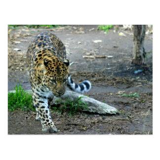 Amur Leopard Postcard