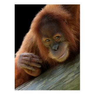 Amused Young Orangutan Postcard