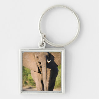 An African Elephant (Loxodonta Africana) Walks Silver-Colored Square Key Ring