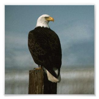 an american bald eagle on a pole photograph