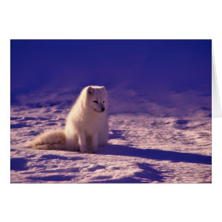 An Arctic Fox in Norway Card