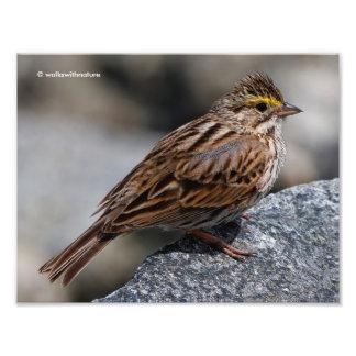 An Inquisitive Savannah Sparrow Photo