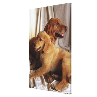 An older Golden Retriever and a puppy against Stretched Canvas Prints