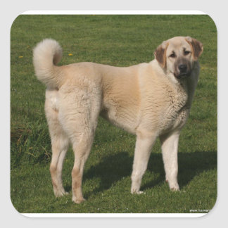 Anatolian Shepherd Dog Square Sticker