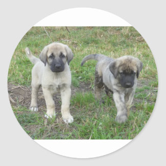 Anatolian Shepherd Puppies Dog Classic Round Sticker
