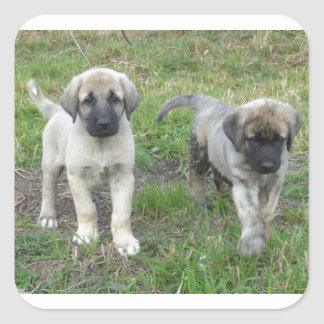 Anatolian Shepherd Puppies Dog Square Sticker