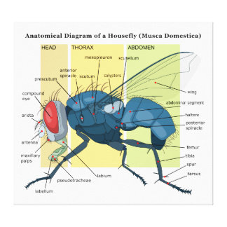 Anatomy of a Housefly Diagram Musca Domestica Canvas Prints