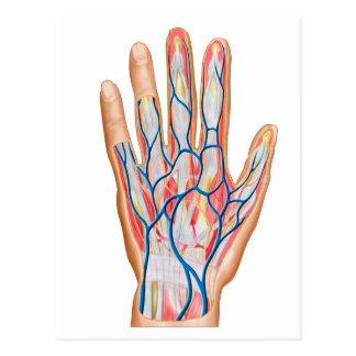 Anatomy Of Back Of Human Hand Postcard