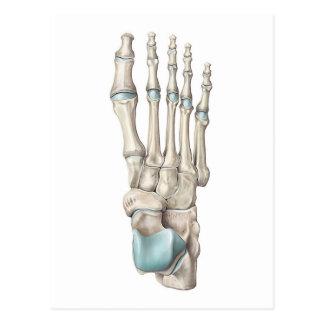 Anatomy of Bones of the Foot Postcard