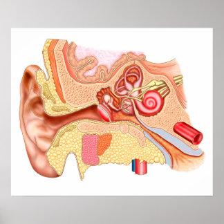 Anatomy Of Human Ear Poster
