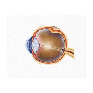 Anatomy Of Human Eye Gallery Wrap Canvas