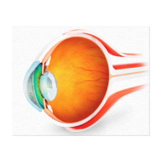 Anatomy Of Human Eye, Perspective Stretched Canvas Print