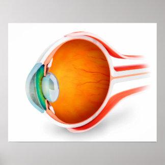 Anatomy Of Human Eye, Perspective Posters
