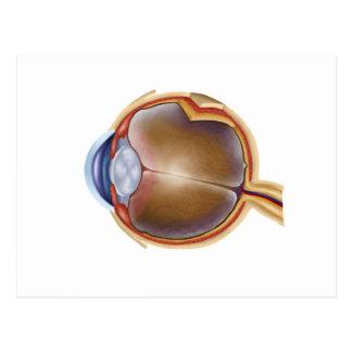 Anatomy Of Human Eye Postcard