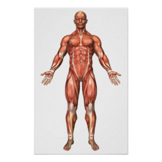 Anatomy Of Male Muscular System, Front View 2 Poster
