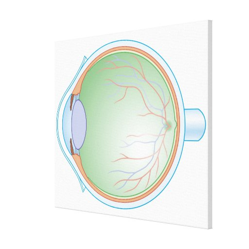 Anatomy of the Human Eye Stretched Canvas Prints