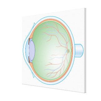 Anatomy of the Human Eye Canvas Prints