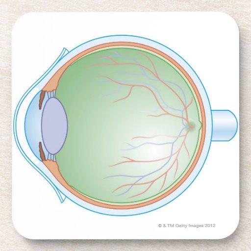Anatomy of the Human Eye Coasters
