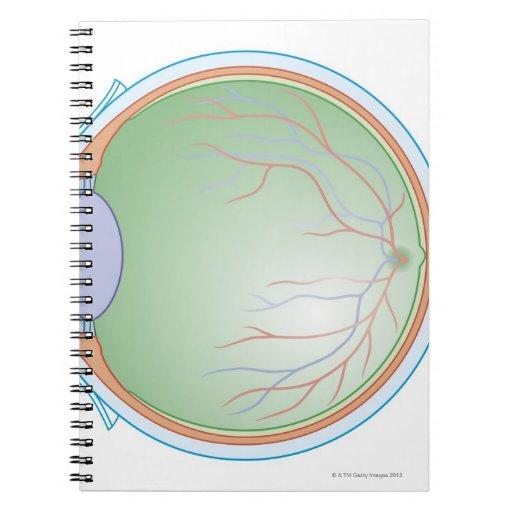 Anatomy of the Human Eye Journal