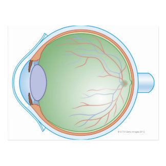Anatomy of the Human Eye Postcard