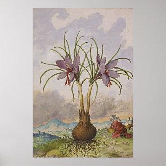 Ancient Botanical Art Saffron Poster