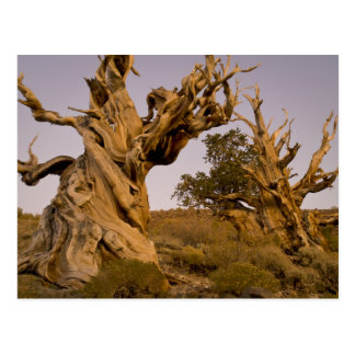 Ancient Bristlecone Forest, White Mountains, CA Postcard