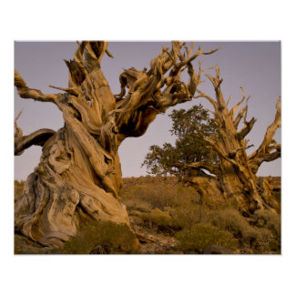 Ancient Bristlecone Forest, White Mountains, CA Poster