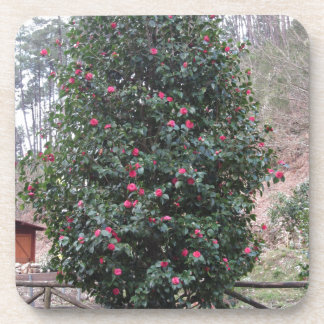 Ancient japanese cultivar of Camellia japonica Coaster