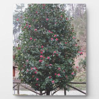 Ancient japanese cultivar of Camellia japonica Plaque