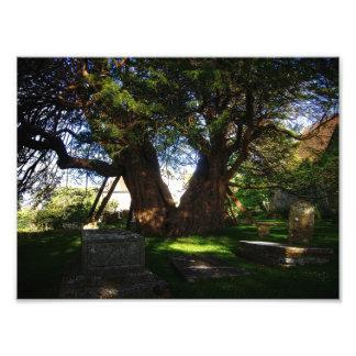 Ancient Yew Photo