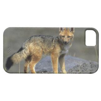 Andean Fox, (Dusicyon culpaeus), Paramo Cotopaxi iPhone 5 Cover