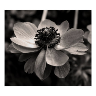Anemone Black and White Floral photography Poster