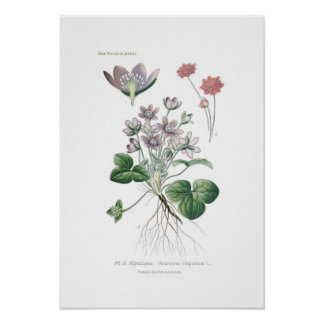 Anemone hepatica poster