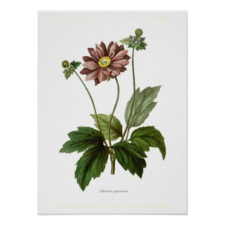 Anemone japonica poster