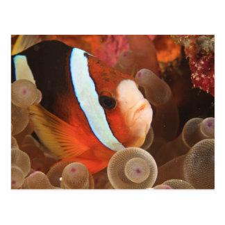 anemonefish, Scuba Diving at Tukang 3 Postcard