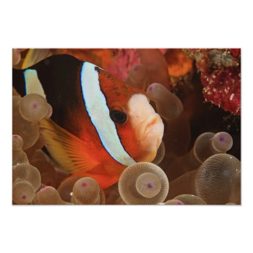 anemonefish, Scuba Diving at Tukang 3 Poster