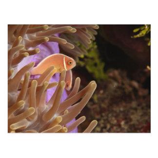 anemonefish, Scuba Diving at Tukang Postcard