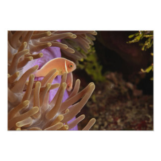 anemonefish, Scuba Diving at Tukang Posters