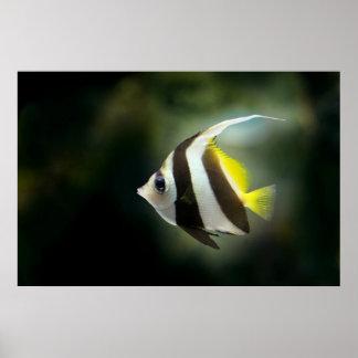 Angelfish Poster
