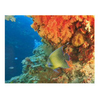 Angelfish swimming near orange soft coral, Bligh Postcard