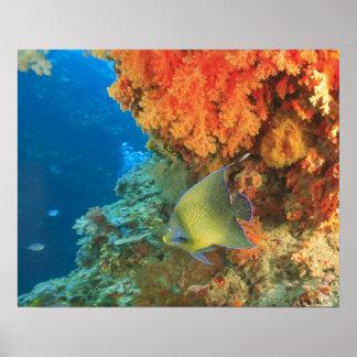 Angelfish swimming near orange soft coral, Bligh Poster