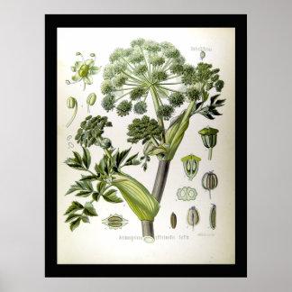 Angelica - Scientific Illustrations -1897 Poster
