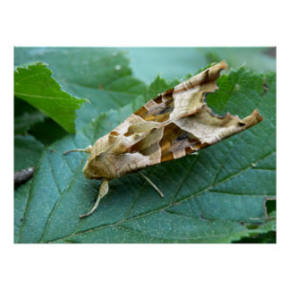 Angle Shades Moth Poster