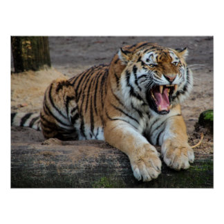 Angry Roaring Tiger Photo Poster