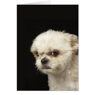 Angry white Shih Tzu with brown eyes Greeting Cards