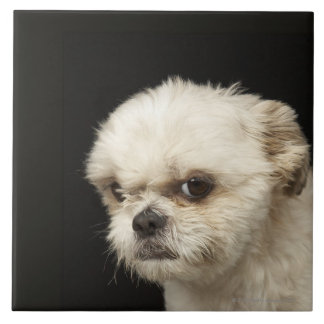 Angry white Shih Tzu with brown eyes Large Square Tile